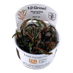 Hygrophila pinnatifida 1-2 Grow!