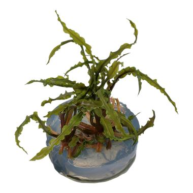 Cryptocoryne crispatula in-vitro 1-2 Grow!
